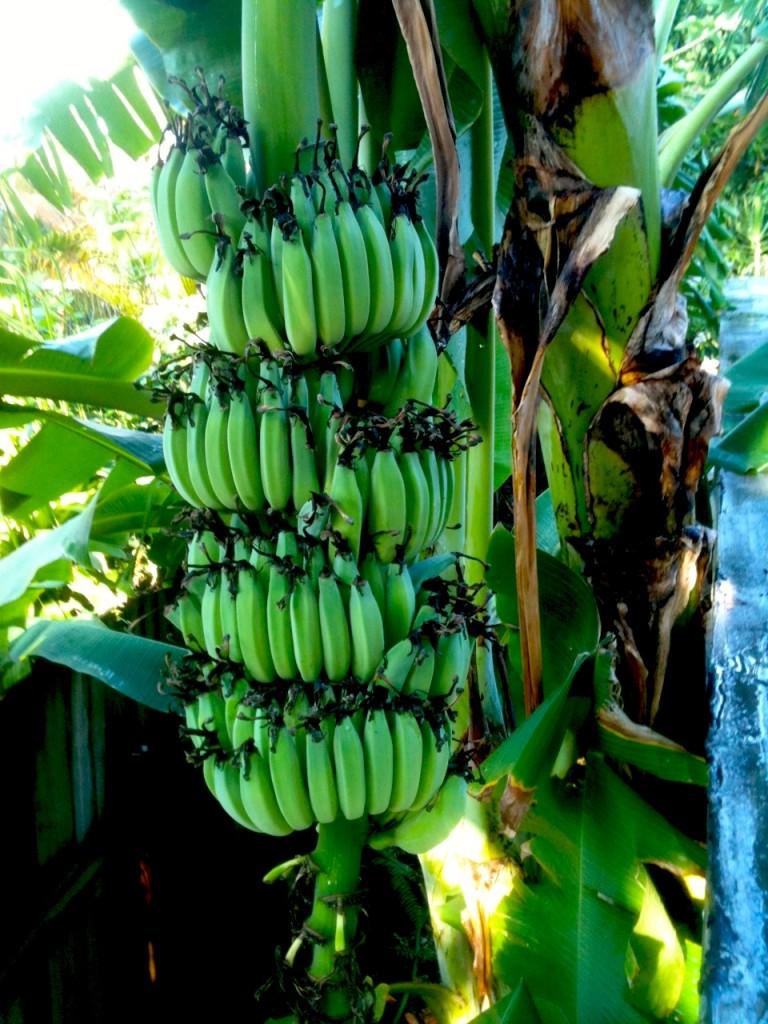 Coconut Grove going Bananas