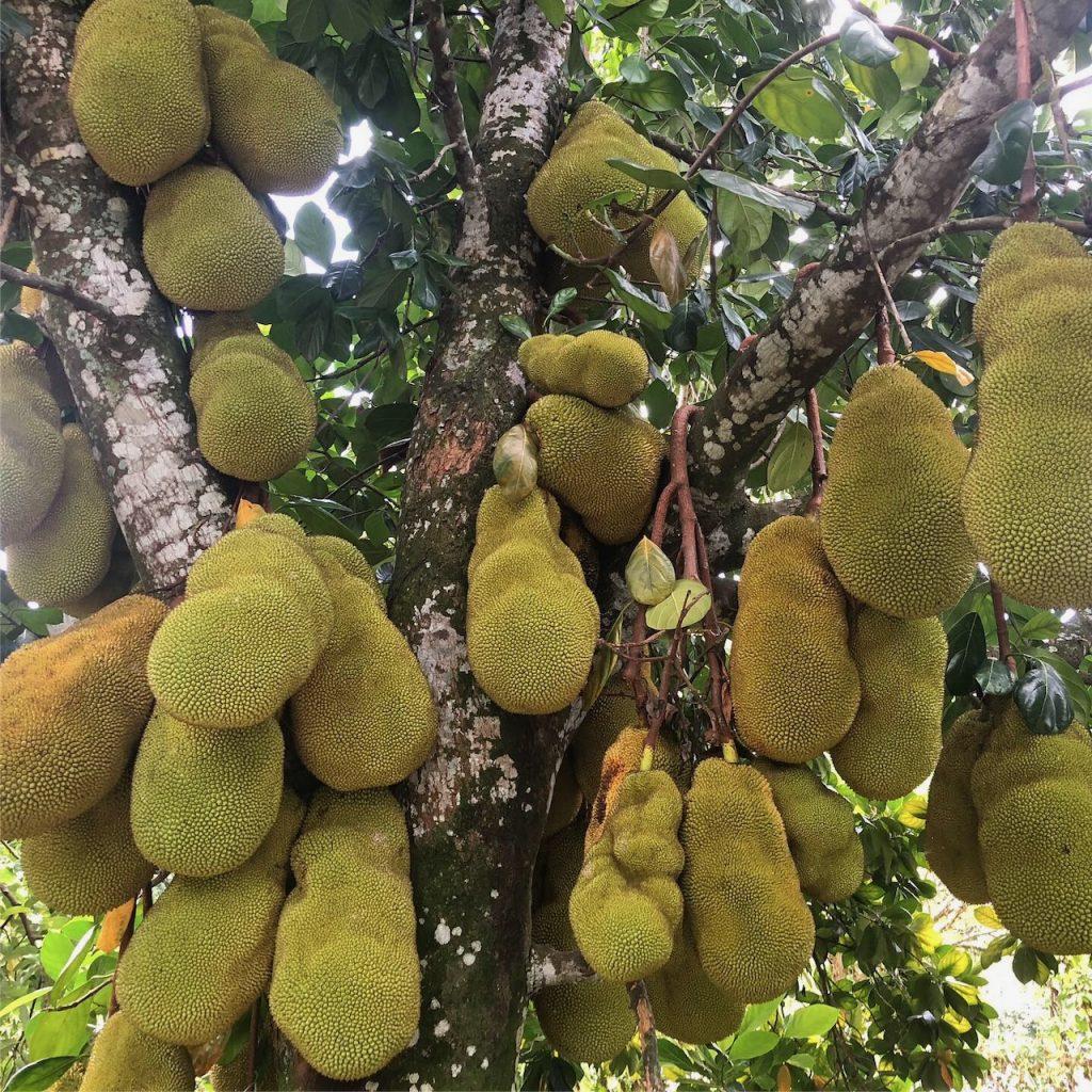 Loaded jackfruit tree