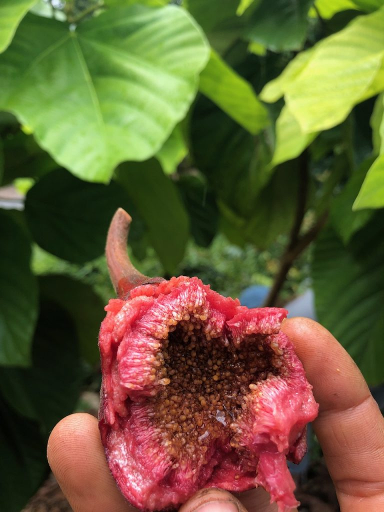 Roxburg's Fig (Ficus auriculata)