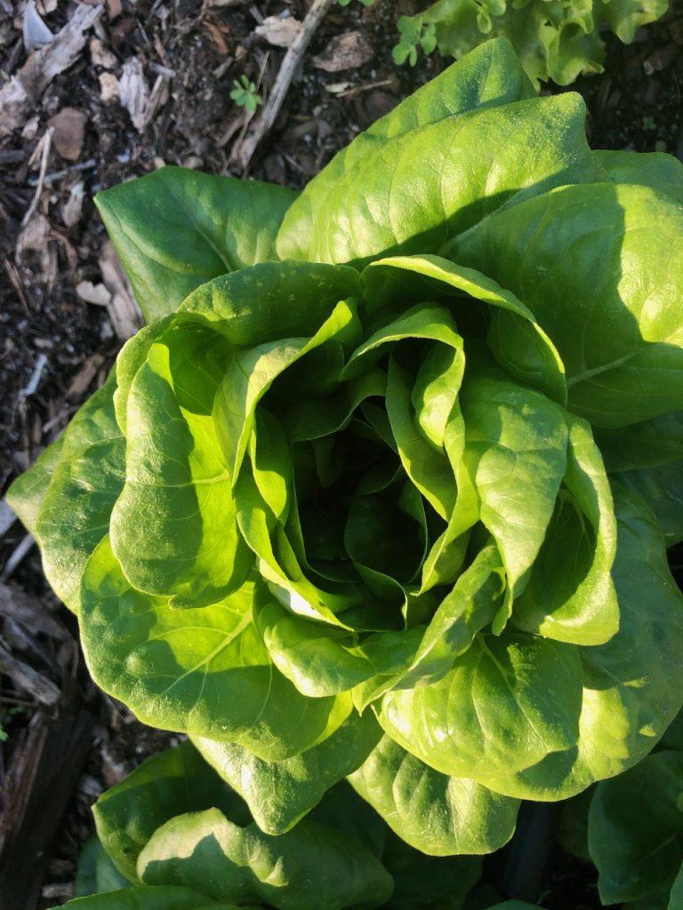 Green Butter Salanova Lettuce