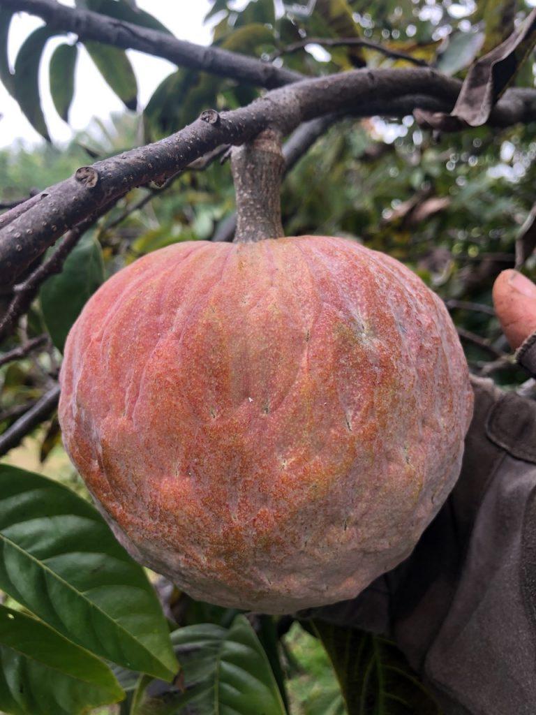Custard Apple (Annona reticulata)