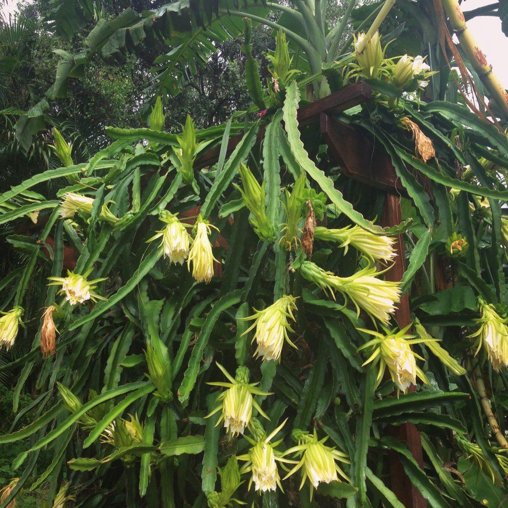 Flowering dragonfruit plant