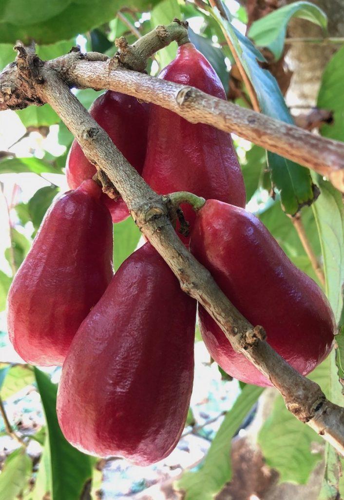 Malay Apple a.k.a. Otaheite Apple (Syzygium malaccense)